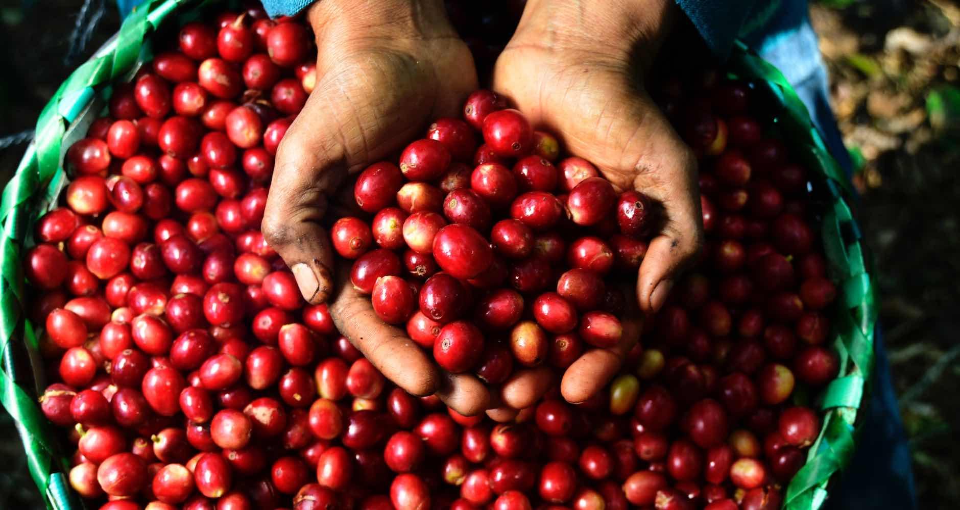 Progresa - Granos de café en manos