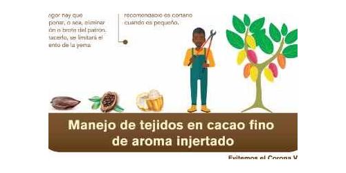 Manejo de tejidos en cacao fino de aroma